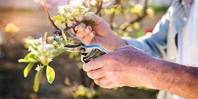 Senior man pruning apple tree